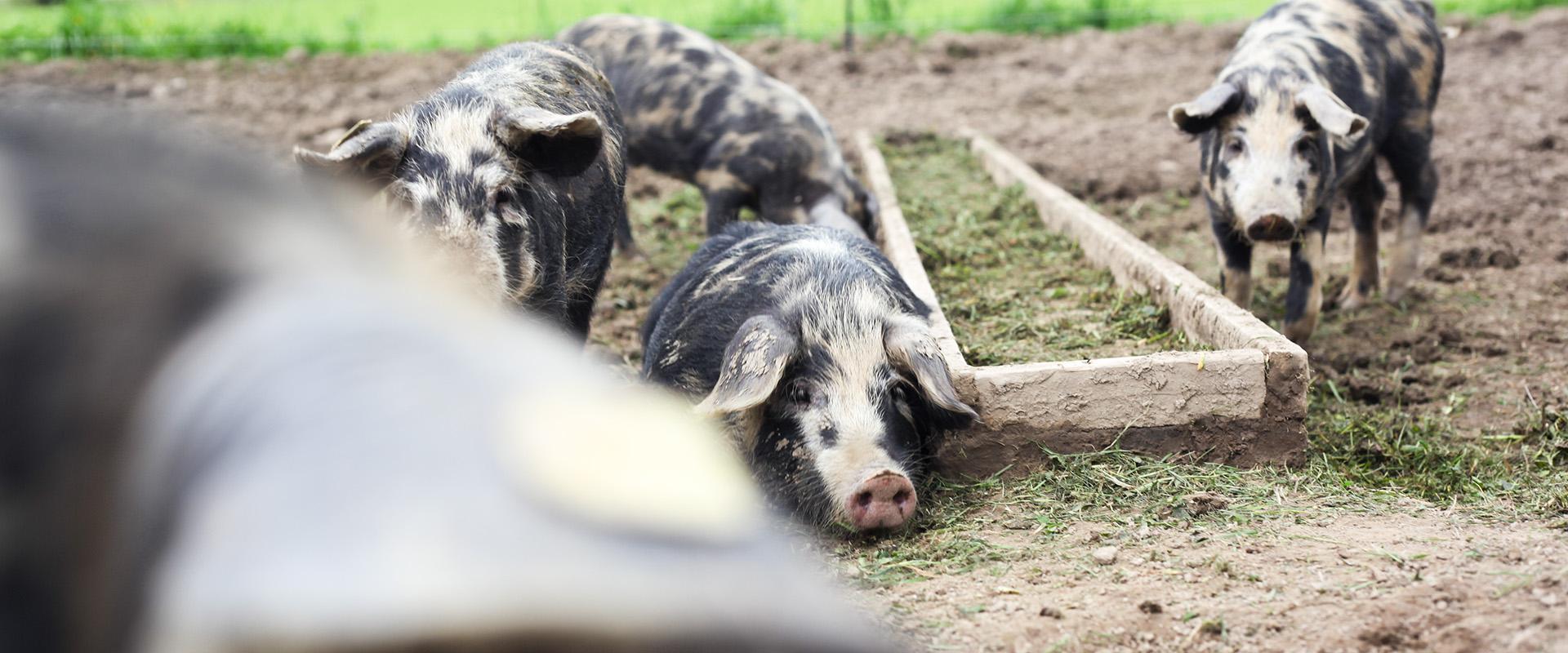 Schweine1_slider